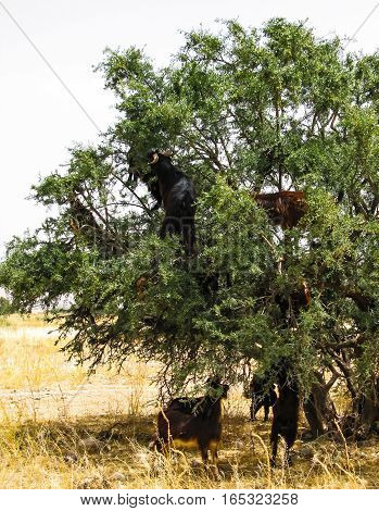 Goats on the branches of argania tree Morocco