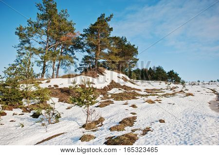 Winter Landscape With Pine Wood, Snow And Small Hill On Blue Sky.