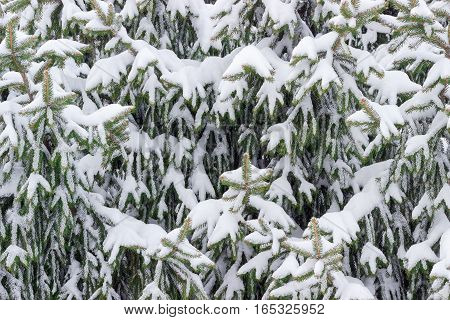 Background of branches of a spruce covered with snow closeup in cloudy day