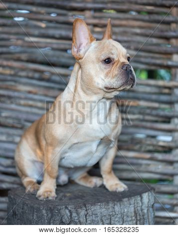 French Bulldog - Canis lupus familiaris, 6 months old, Portrait