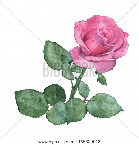 Watercolor illustration of a rose. Isolated on white. Hand-drawing