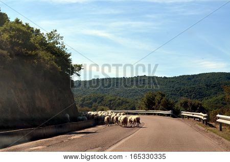 running sheep on the road in Sardinia
