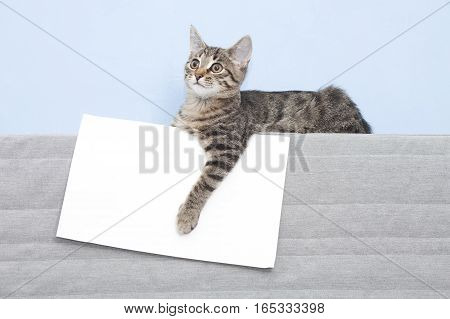 Template for animal advertising. Kitten holding a white sheet