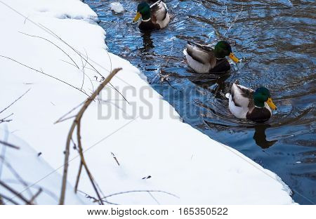 birds ducks floating on the river in winter