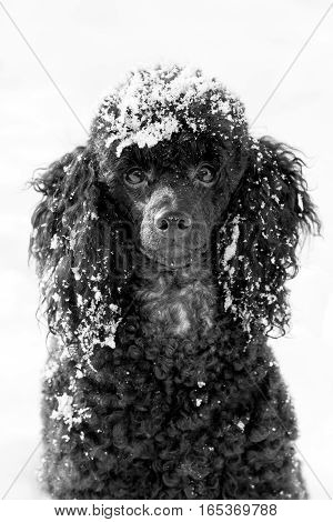 snowbound beautiful black poodle sitting on snow in winter