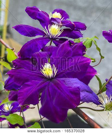 purple flower of clematis nature background  flora