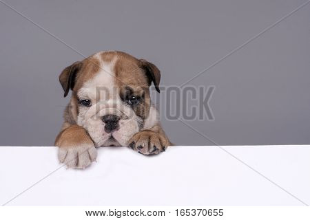 Cute English bulldog puppy with white banner for text