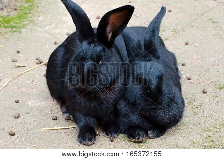Two black rabbits sitting in the open