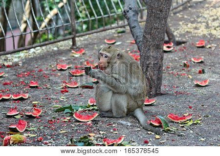 Pregnant Monkey  Enjoy To Be Eating Watermelon .