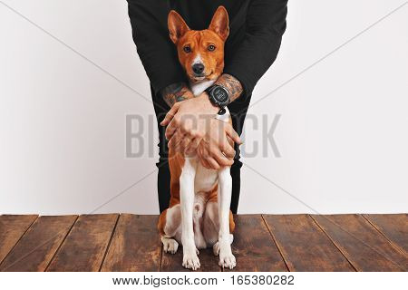 Owner in black clothes with tattooed arms is protecting his beautiful red and white basenji dog with curious face, sitting on aged wooden table or floor, from any danger, isolated on white