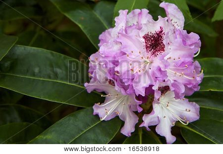 Shallow DOF of Violet Rhododendron with soft focus green leaves