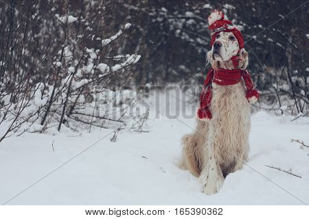 White stylish big cute dog with bright brown spots and long hair english setter sitting in frosty winter weather wearing warm red hat and scarf on christmas and new year background in vintage style