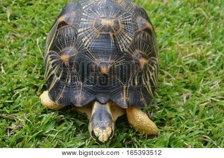 Turtle Tortoise Black Yellow Walk Slow Grass Green
