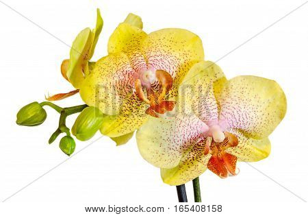 Yellow Branch Orchid Flowers With Buds, Orchidaceae, Phalaenopsis