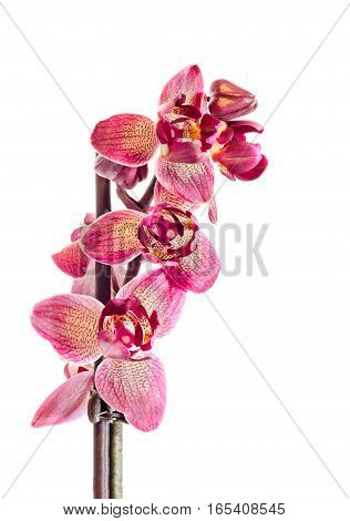 Purple Branch Orchid Flowers With Buds, Orchidaceae, Phalaenopsis