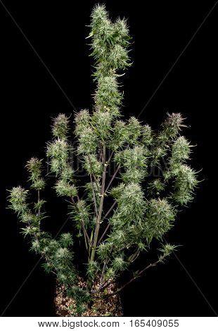 Nice big mature female cannabis plant on black background.