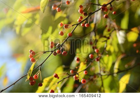 Hawthorn red berries. Late fall seasonal background