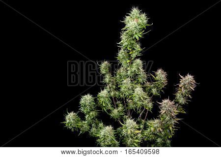 Top half mature female cannabis plant on black background.