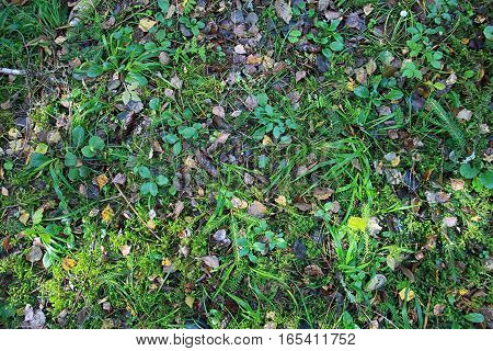 texture of forest floor with grass and pine cones and fallen leaves in summer