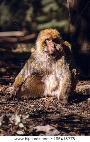 Wildlife shot of a barbary macaque monkey sitting on the ground in the National Park of Ifrane, Morocco.