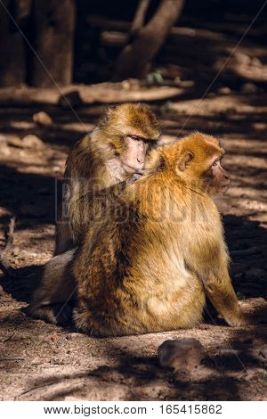 Wildlife shot of two barbary macaque monkeys sitting on the ground during the delouse in the National Park of Ifrane, Morocco.