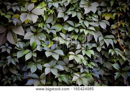 Wild Grape Green Wall Background