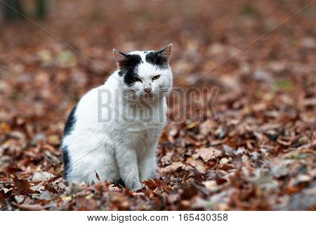 Portrait Of A Black And White Cat Sitting On Fallen Autumn Leaves