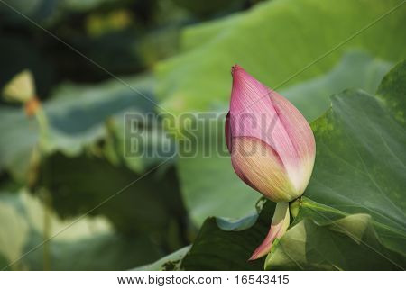 Die Seerose im Teich und den Garten in Peking.