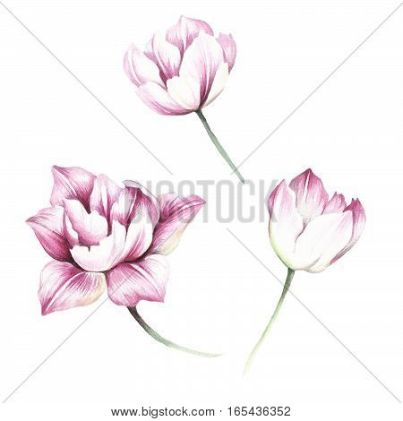 Set of tulips. Hand draw watercolor illustration