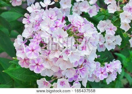 Beautiful White Flower Phlox. Flowers In Garden
