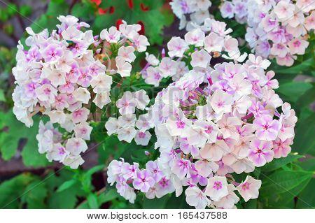 Beautiful White Flower Phlox.