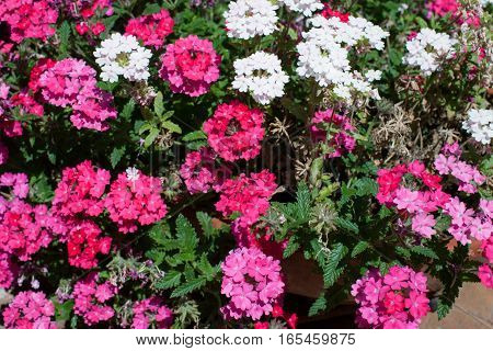 White and pink Verbena plants in bloom in the month of May Terracina Lazio Italy.