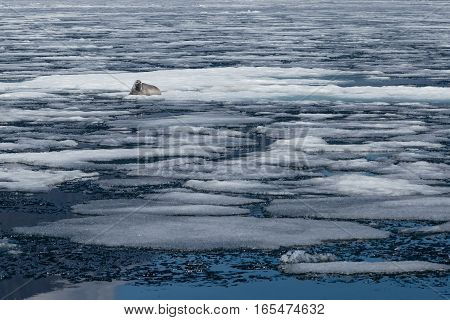 Spring landscape with baikal seal lying among ice in natural environment looking at the camera