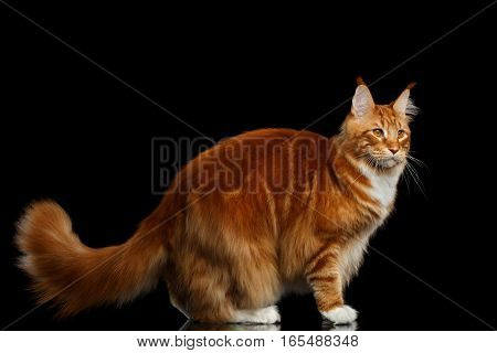 Tabby Ginger Maine Coon Cat Standing with Furry Tail Isolated on Black Background, Profile view