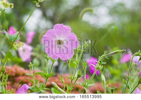 High key outdoor portrait of petunia flower.