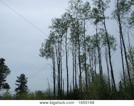 Tallest Trees Ever