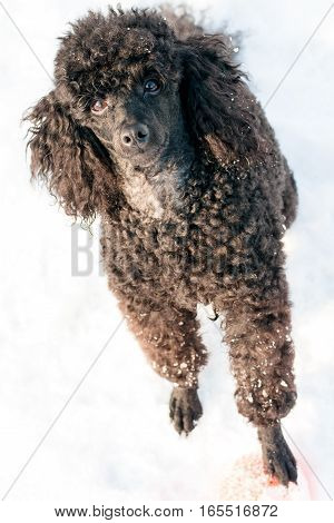 beautiful black poodle standing on the snow bright winter day