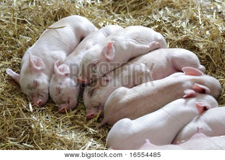Piglets curled up against each other sleeping in a pigstye