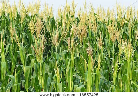 Closeup pictures of a corn crop at summer with flower on top