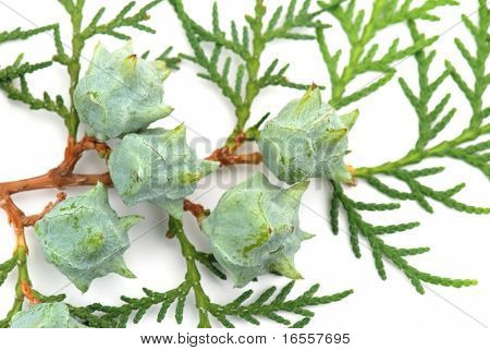 Closeup of Cedar Branch Isolated on White