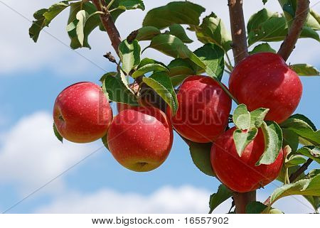 Branch with red apples with blue sky