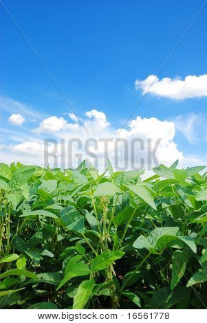 Green Soybeans in Field with Copy Space