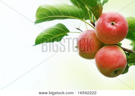 Three apples with leaves isolated on the white.