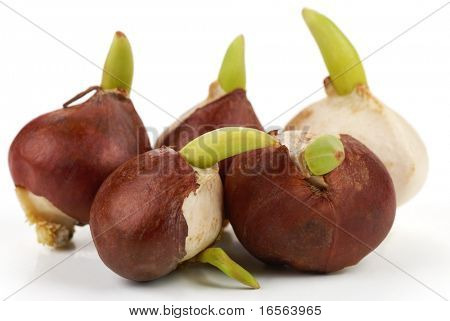 Tulip bulbs on white background