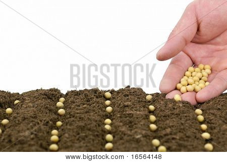 sowing soybean in a row,concept.