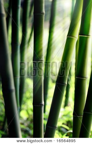 Sunlight Shining through Bamboo forest