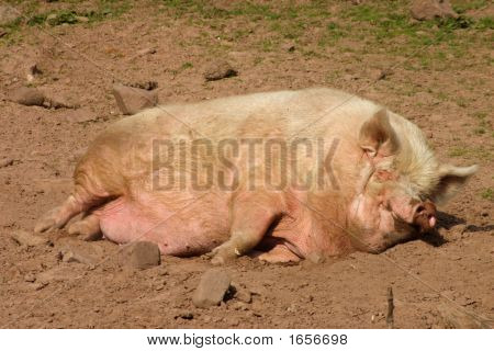 A Pig Having An Afternoon Nap.