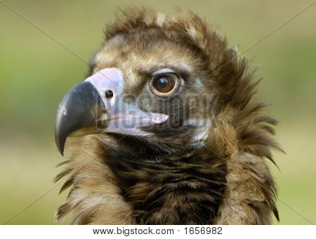 Portrait Of A Cinereous Vulture