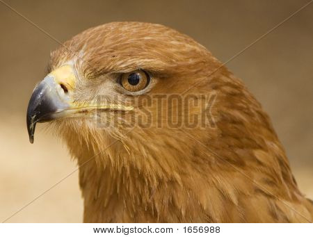 Portrait Of A Tawny Eagle