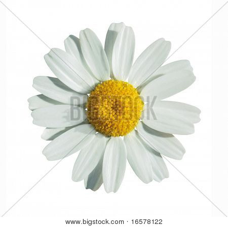 White summer flower isolated on white with clipping path